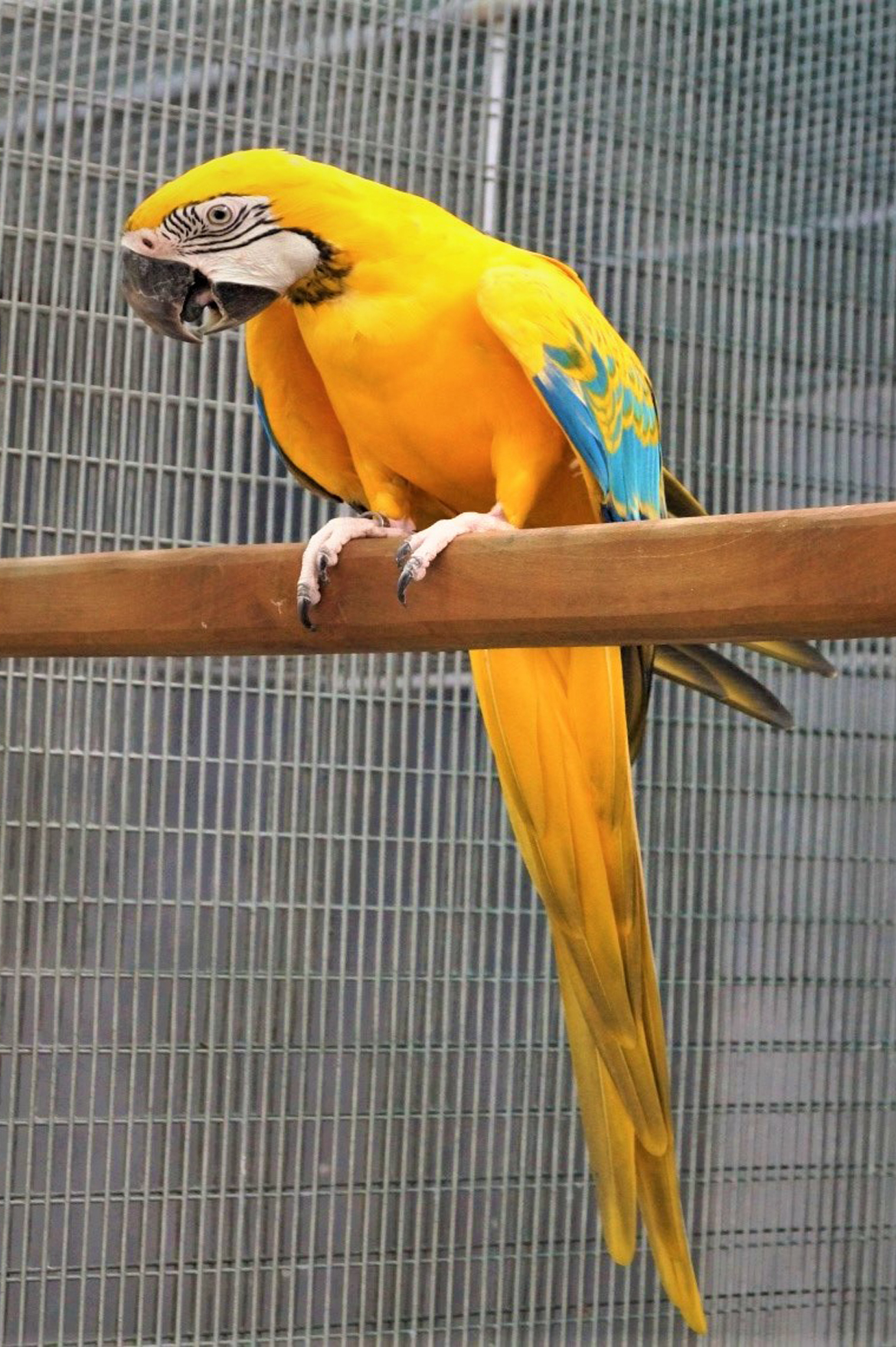 Blue and Gold Macaw – Yellow Opaline